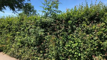 Dense & well managed hedge gallery